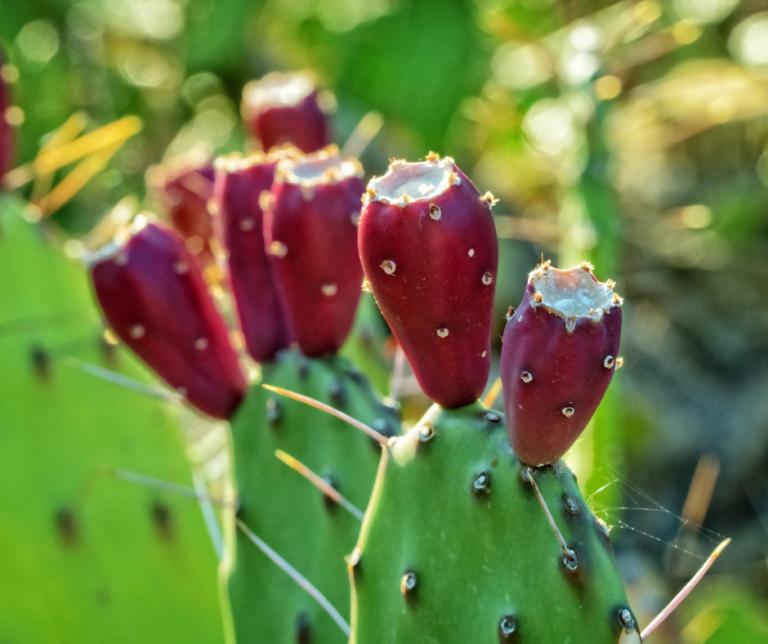 Kaktusfeige Canva
